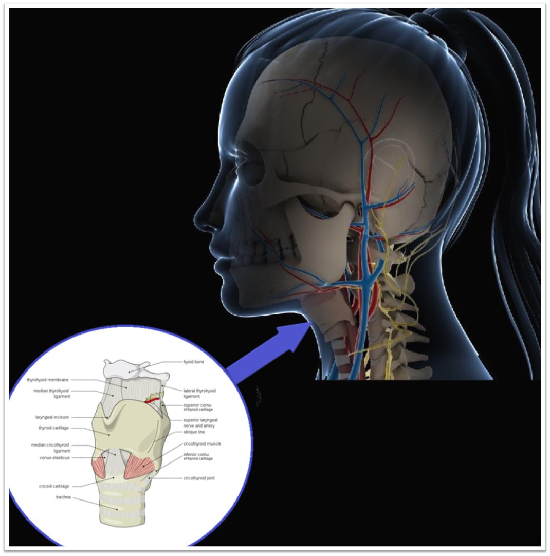 Location of Larynx